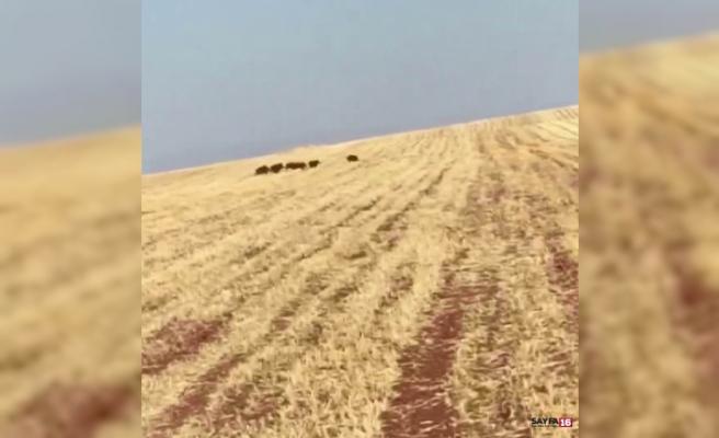 Sürü halinde gezen yaban domuzları köylere dadandı