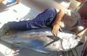 Antalya'da balıkçının oltasına 130 kiloluk...