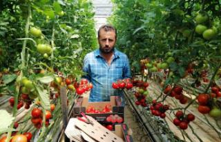 Jeotermal serada yılın 12 ayı domates üretiyorlar