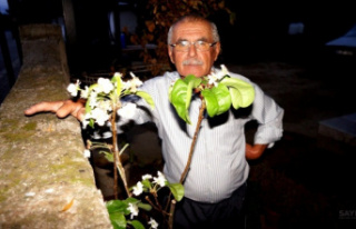 Sarıgöl'de armut ağacı Eylül ayında çiçek...