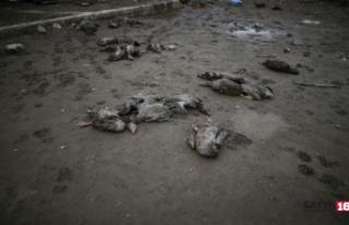 280 kaz telef oldu: Aç kalan köpekler kazlara saldırdı