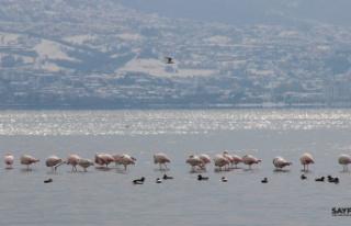 Körfez'i renklendiren flamingolar, kışın keyfini...