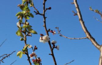 Yalancı bahar çiçek açtırıyor