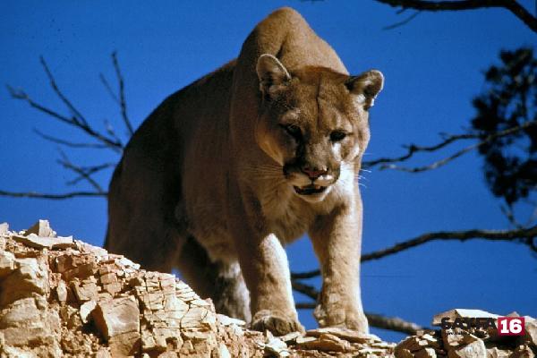 Dağ aslanı 8 yaşındaki çocuğa saldırdı