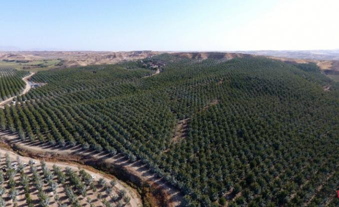 Türkiye'nin en büyük kapama ceviz bahçesinde hasat